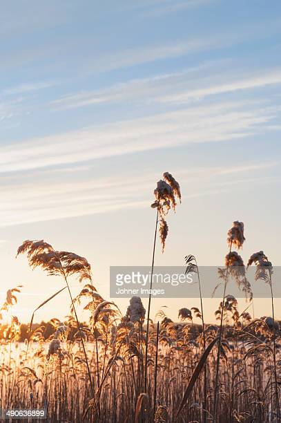 Reed in sunset, Sweden