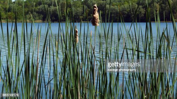 Reed on a lakeshore