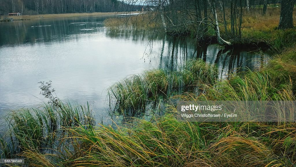 Reed On Riverbank : Foto stock
