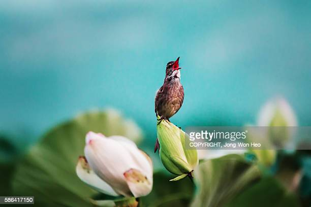 A reed warbler on the lotus blossom