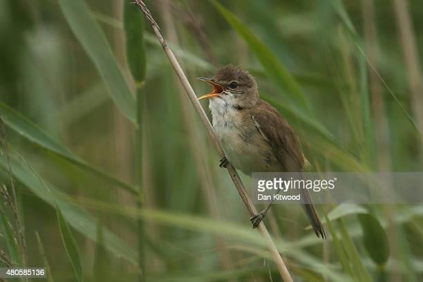 Reed Warbler sings in a reedbed on the RSPB's Wallasea Island Reserve on July 13, 2015 near Rochford, England. Wallasea Island Wild Coast project has...