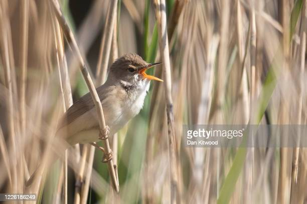 Reed warbler sings in reeds next to the Serpentine in Hyde Park on May 21, 2020 in London, United Kingdom. This week temperatures reached 28 degrees...
