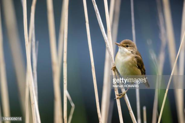 reed warbler, sonian forest - capital region stock pictures, royalty-free photos & images