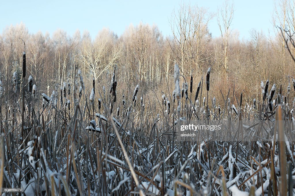 reed winter forest : Stock Photo