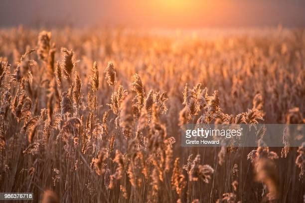 reedbeds in the sunset - howard,_wisconsin stock pictures, royalty-free photos & images