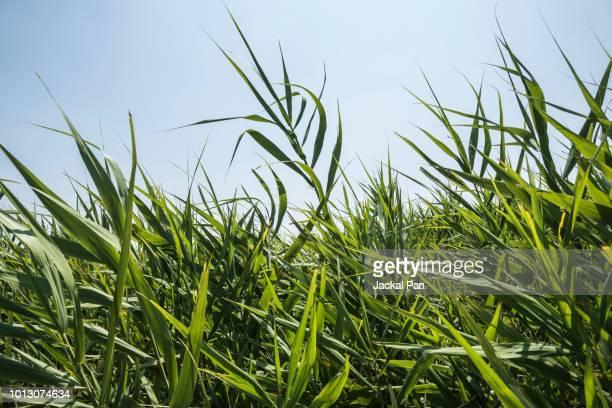 reeds against clouds in blue sky - gras stock-fotos und bilder