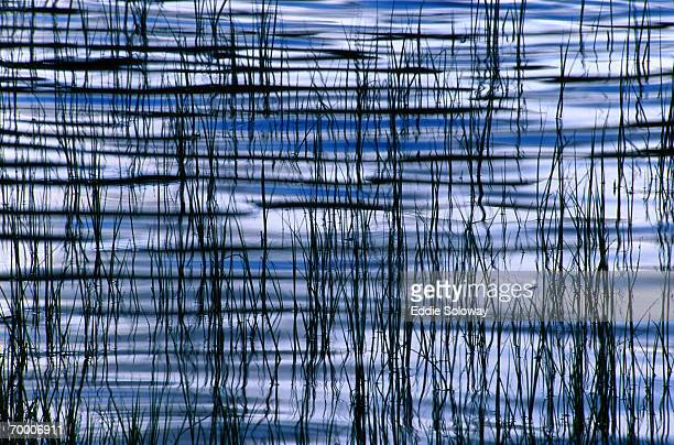 Reeds and bulrush (Scirpus lacustris) in lake, New Mexico, USA