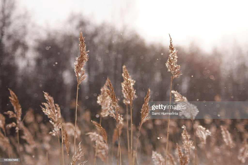 Reeds and falling snow : Stock Photo