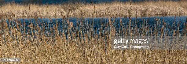 reeds and pond at dungeness nature reserve - gary colet stock pictures, royalty-free photos & images