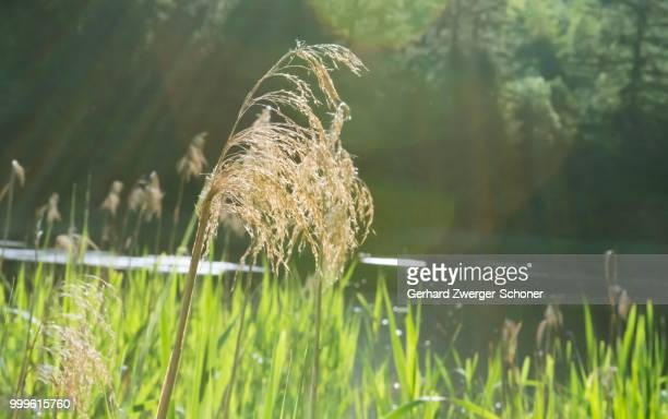 Reeds at Lanser Moor, Innsbruck, Tyrol, Austria