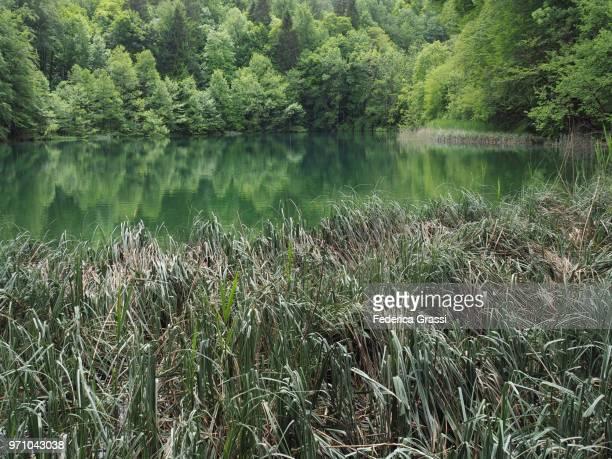 reeds at plitvice lakes national park - pianta acquatica foto e immagini stock