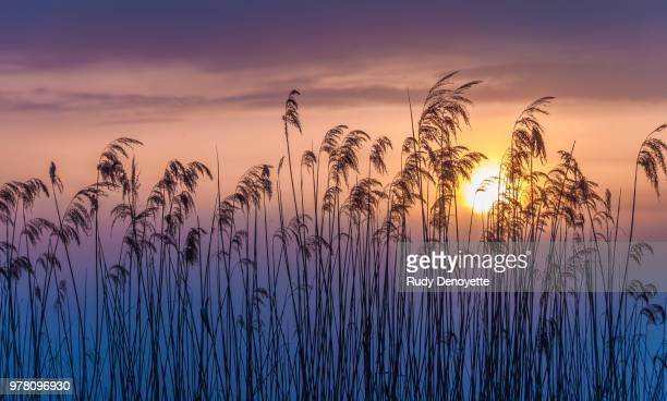 Reeds at sunset, Ghent, East Flanders, Belgium