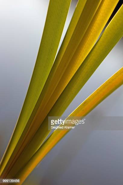 Reeds (Phragmites sp.), contre jour, backlit, Baden-Wuerttemberg, Germany