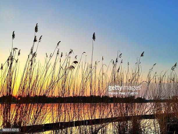 Reeds Growing By Lake Against Clear Sky During Sunset