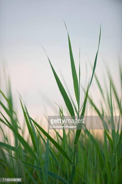 Reeds in summer, Cley, Norfolk.