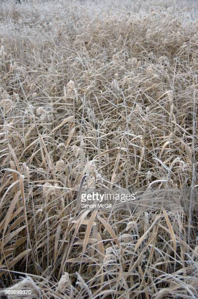 Reeds on a frosty winter morning at Jerrabomberra Wetlands, Australian Capital Territory, Australia