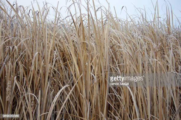 Reeds on a frosty winter morning at Jerrabomberra Wetlands, Australian Capital Territory, Australia