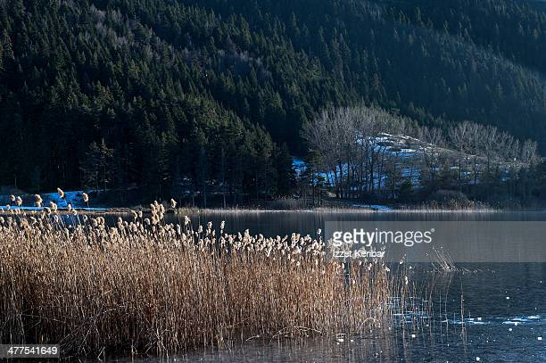 Reeds on Abant Lake in winter