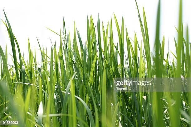 Reeds auf Weiß