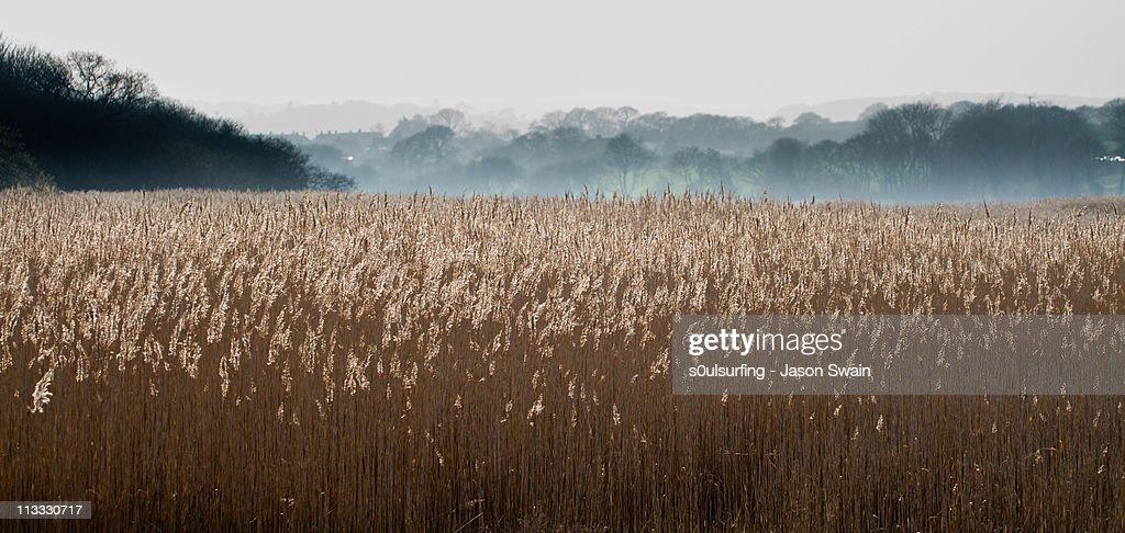 Reeds : Stock Photo