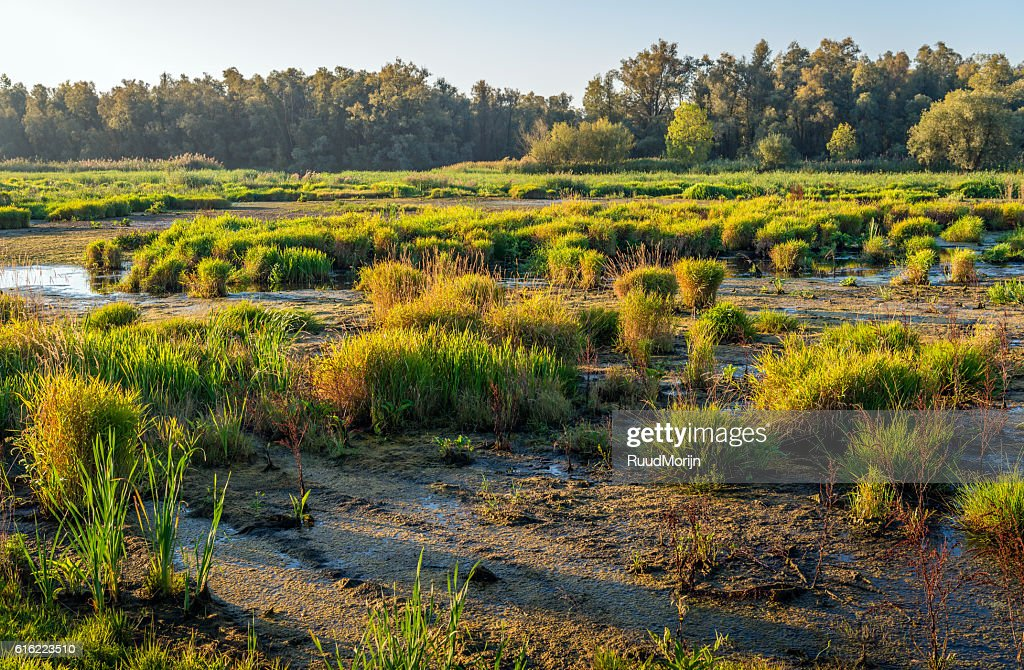 Reeds, rushes and other wild plants in a marshy area : Stock Photo