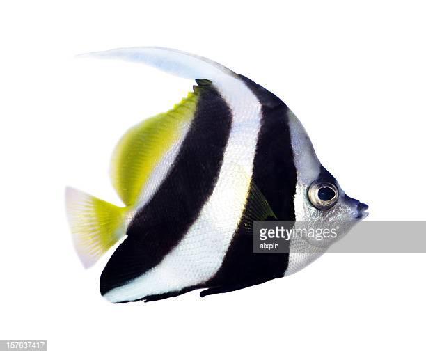 Reef bannerfish