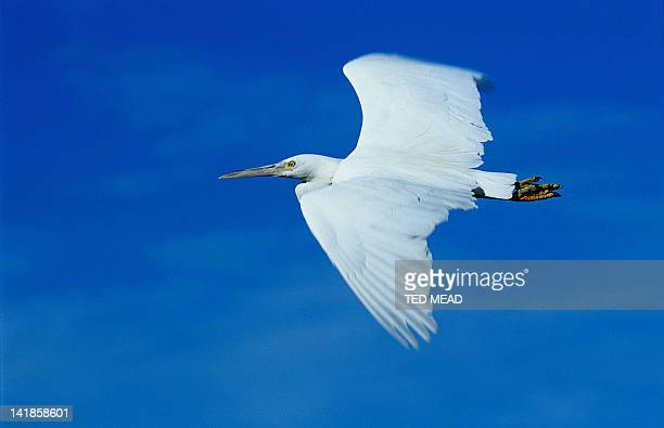 A Reef Egret ( Ardea sacra ) in flight, Great Barrier Reef, Queensland, Australia.