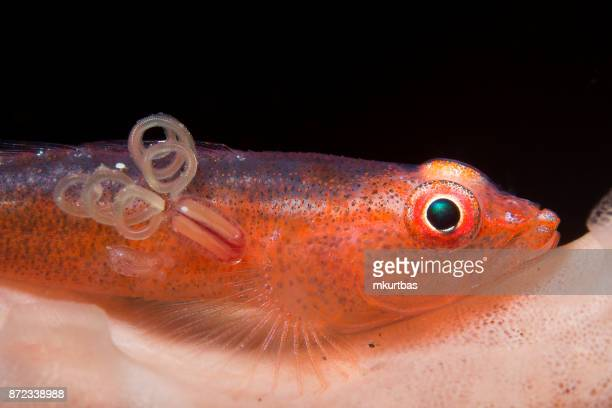 Reef Fish Goby
