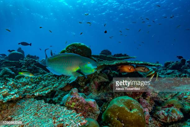 Reef fish including a parrot fish in the middle of a coral reef on April 08 Maldives, Indian Ocean. The parrotfish is a herbivorous fish that scrapes...