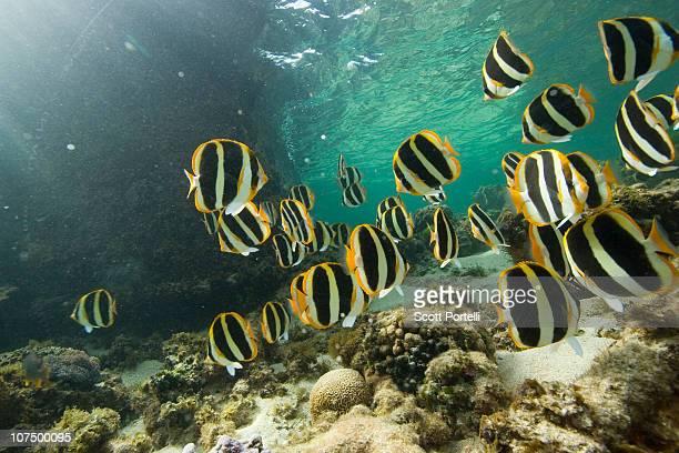Reef Fish Lord Howe Island