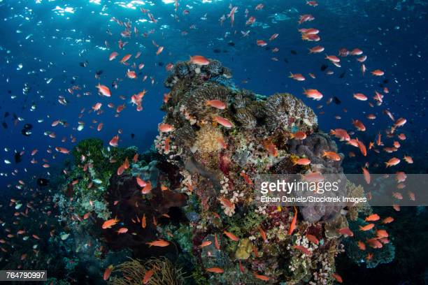 Reef fish swimming above a coral reef in the Lesser Sunda Islands of Indonesia.