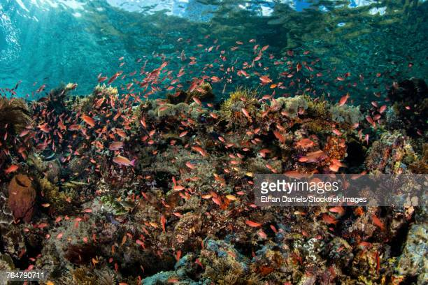 Reef fish swimming above a coral reef in the Lesser Sunda Islands.