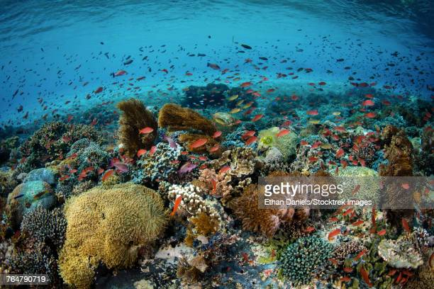 Reef fish swimming in a strong current near Alor in the Lesser Sunda Islands.