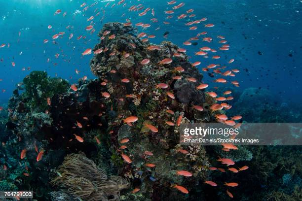 Reef fish swimming in a strong current near Alor in the Lesser Sunda Islands, indonesia.