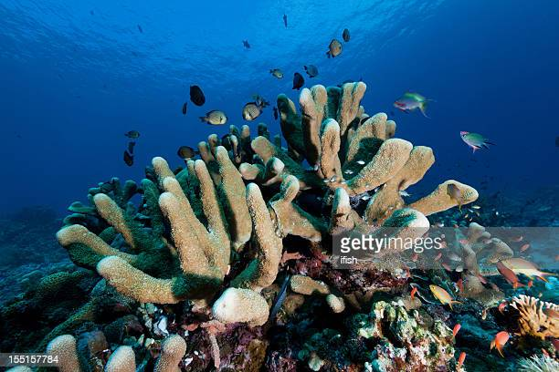 Reef Fishes in Hard Coral Garden, Komodo National Park, Indonesia