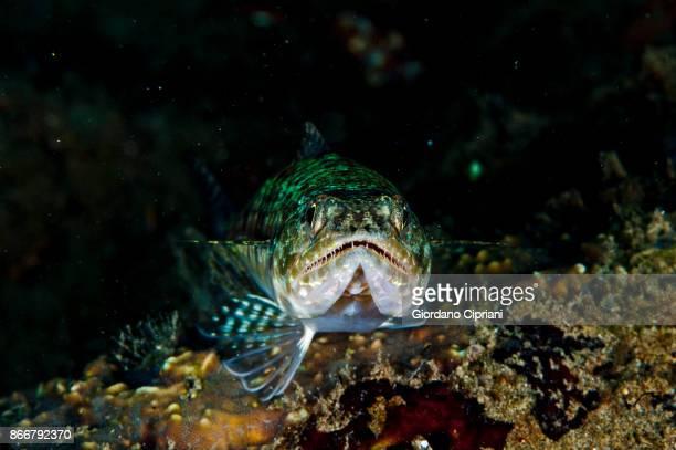 reef lizardfish