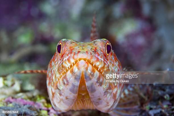 Reef Lizardfish Synodus variegatus Marovo Lagoon Solomon Islands