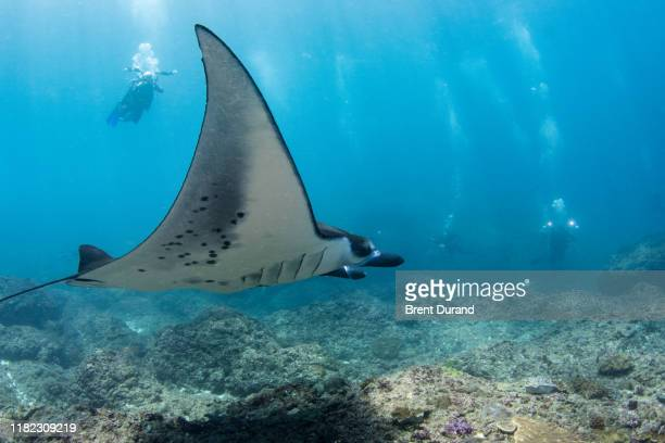 reef manta ray and scuba divers - indo pacific ocean stock pictures, royalty-free photos & images