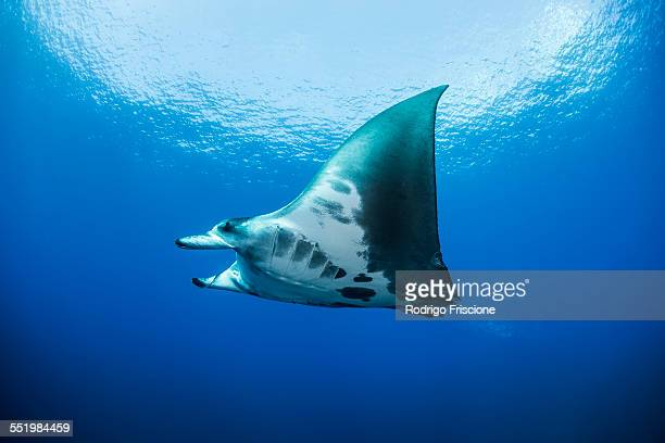 Reef manta ray (Manta alfredi) swimming around an underwater pinnacle north of the Yucatan Peninsula, Cabo Catoche, Quintana Roo, Mexico