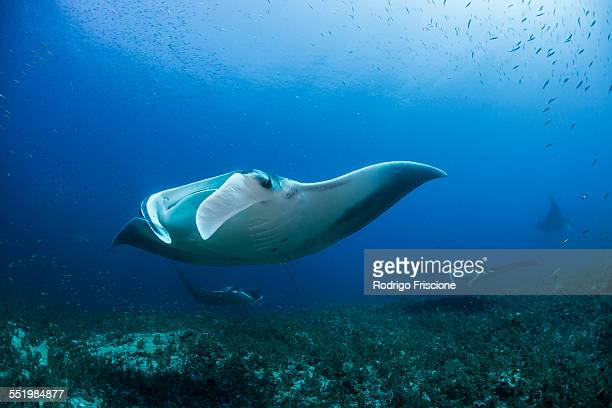 reef manta ray (manta alfredi) swimming near underwater pinnacle north of the yucatan peninsula to be cleaned of parasites by labrid fish, cabo catoche, quintana roo, mexico - dasiatide foto e immagini stock