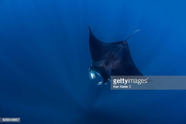 reef mantas near isla mujeres, mexico - isla mujeres stock photos and pictures