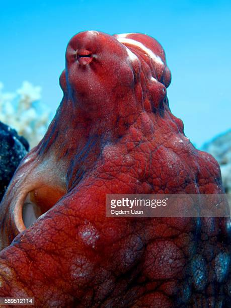 reef octopus(octopus cyaneus). - invertebrate stock photos and pictures