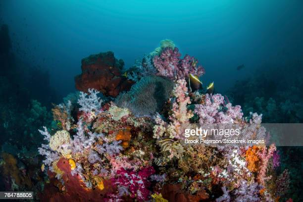 A reef of with soft corals and anemones, Raja Ampat, Indonesia.