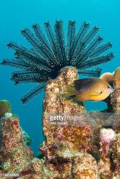 Reef scene of golden crinoid on coral outcrop, Davidaster rubiginosa, Curacao, Netherlands Antilles,