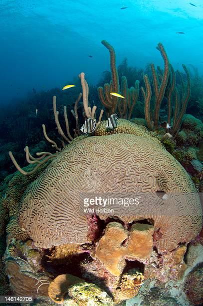 Reef scene showing boulder brain coral Curacao Netherlands Antilles