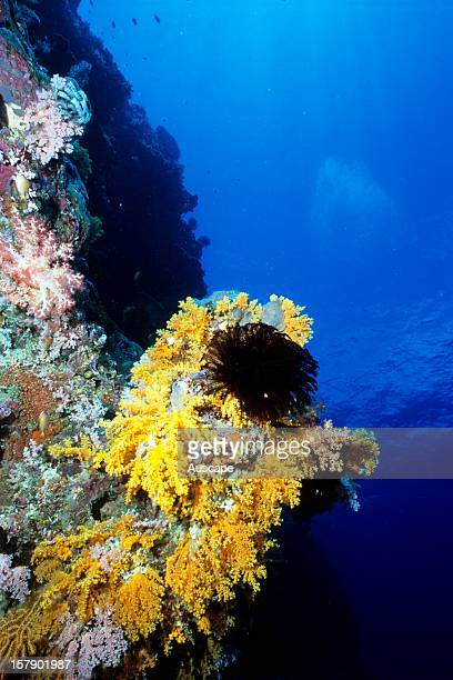 Reef scene with soft corals and featherstar , Solomon Islands.