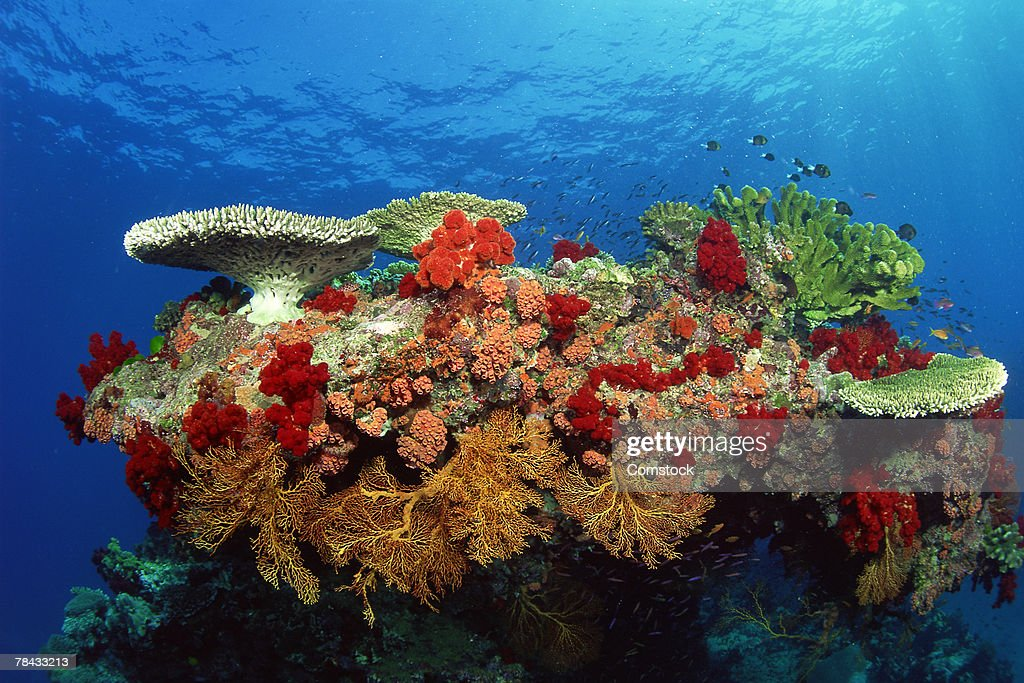 Reef scenic of hard corals , soft corals and tropical fish , Malaysia : Stockfoto