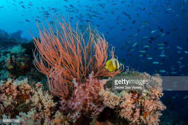 Reef Scenic with Blacklip Butterflyfish
