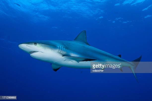 reef shark - cdascher stock pictures, royalty-free photos & images