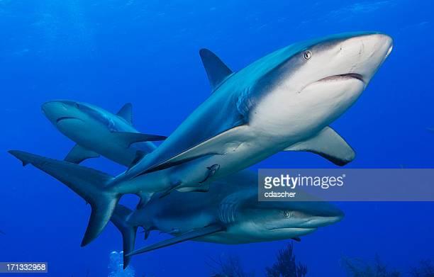 リーフサメ